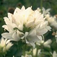 Capanula glom alba - hvit klokke