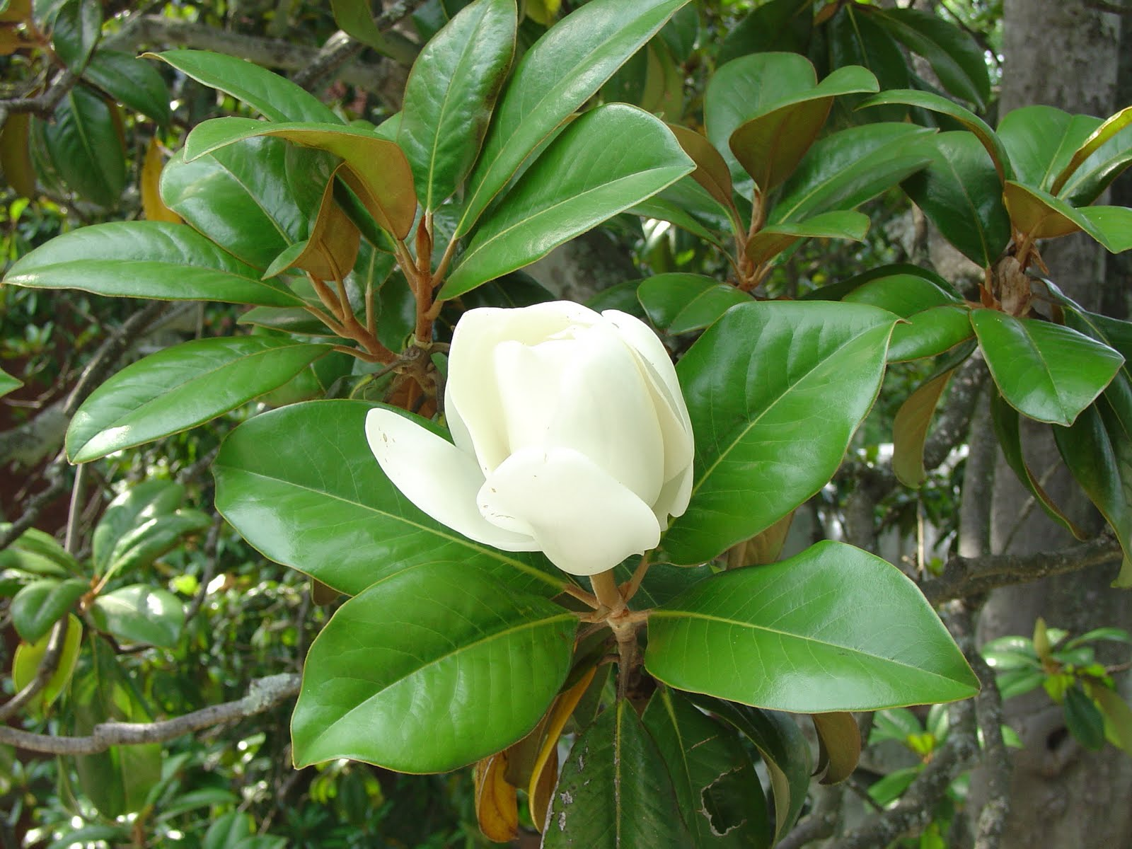 What Grows There Smaller Southern Magnolias