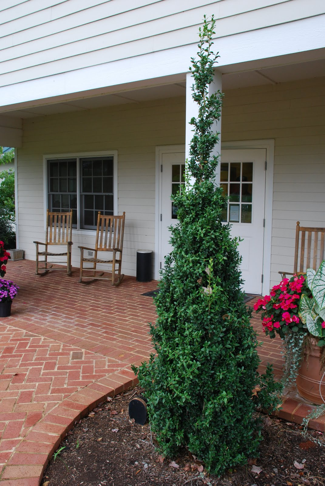 What Grows There Dee Runk Is Best Upright Boxwood