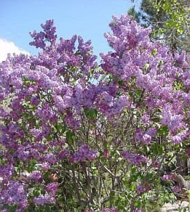 photo of lilacs in bloom