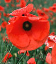 WEAR YOUR POPPY WITH PRIDE ...