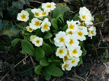 PLANTS FOR FREE - DIVIDE LARGE CLUMPS OF PRIMROSES ...