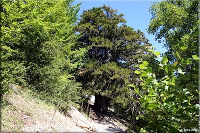 El Tejo de Antoñana, árbol singular de Araba