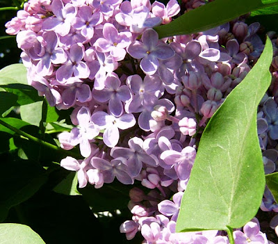 bez fioletowy - krzew bzu