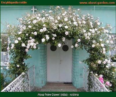 pergola obronięta różami new dawn