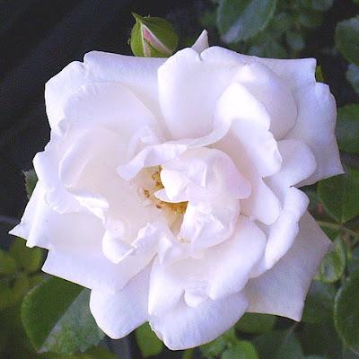 róża pnąca odmiany new dawn