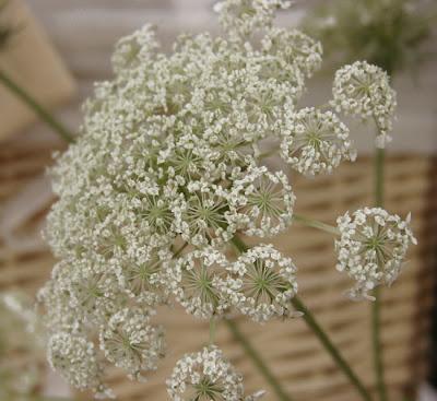 biały kwiat z polskiej łąki