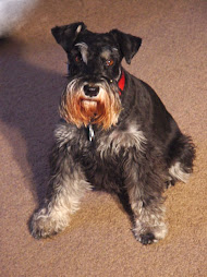 Hope, the mellow schnauzer