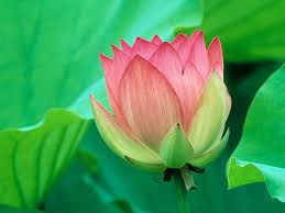 water flower lotus