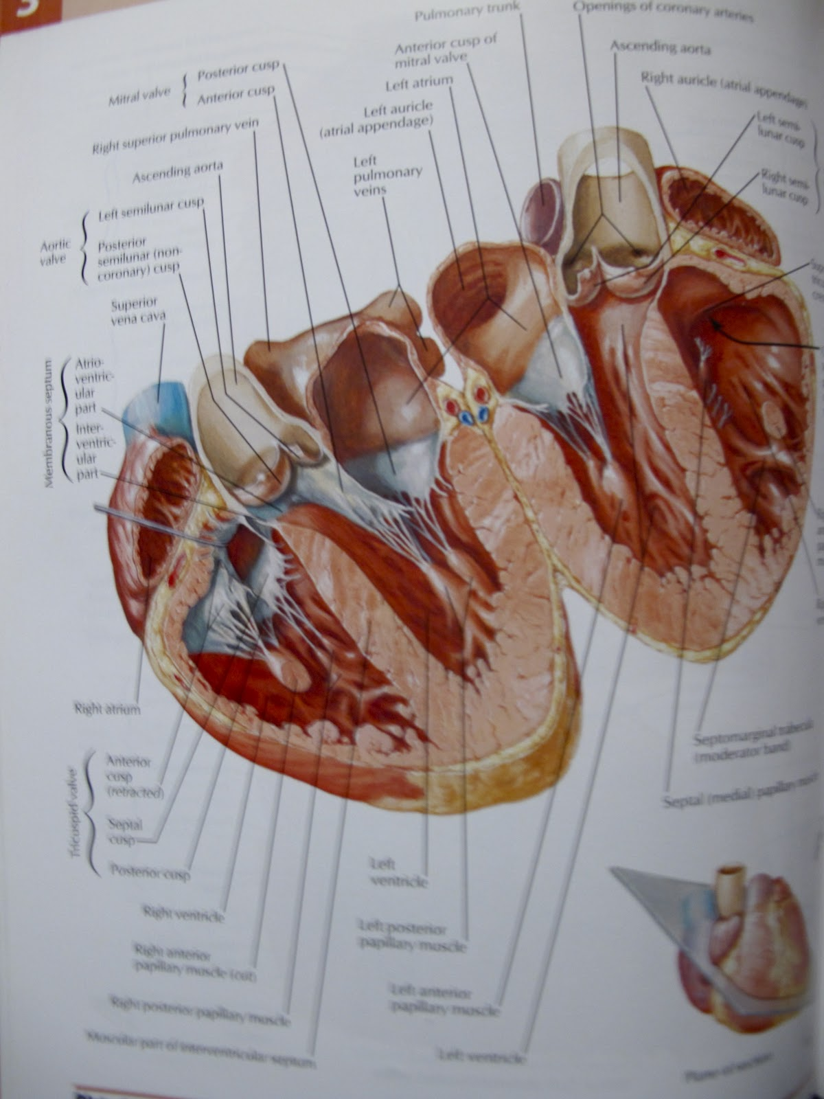Fantastic Interactive Atlas Of Human Anatomy Composition Human