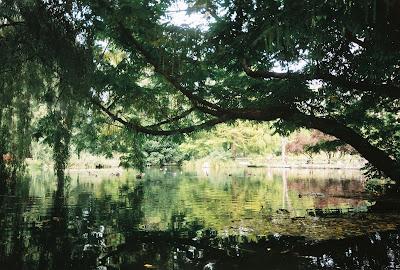 Dere veya söğüt ağacı