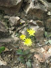 Hieracium pilosella (Sparviere pelosetto, Pelosella)