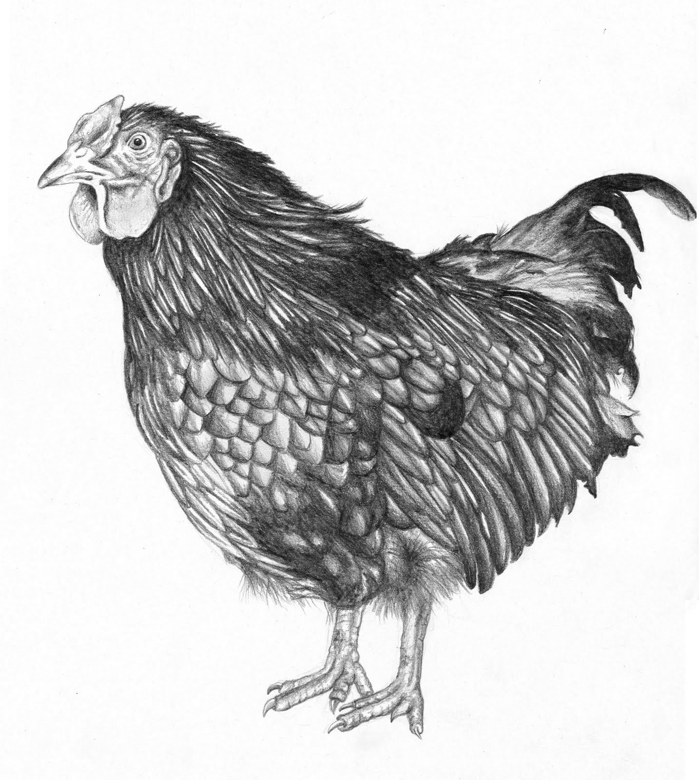We decided the chicken s name is Winston  because it is so jowly  The    Chicken Drawings