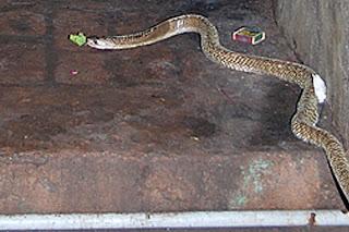 Image result for कोबरा ने बीच सड़क पर दिए इतने अंडे,