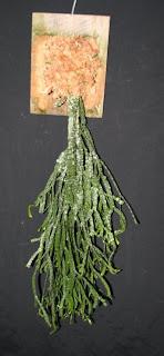 Lycopodium, huperzia, club moss, for sale, price list