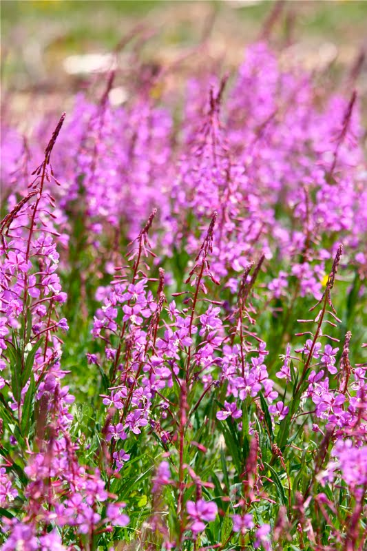 Pretty Evil Purple Loosestrife About Boulder County