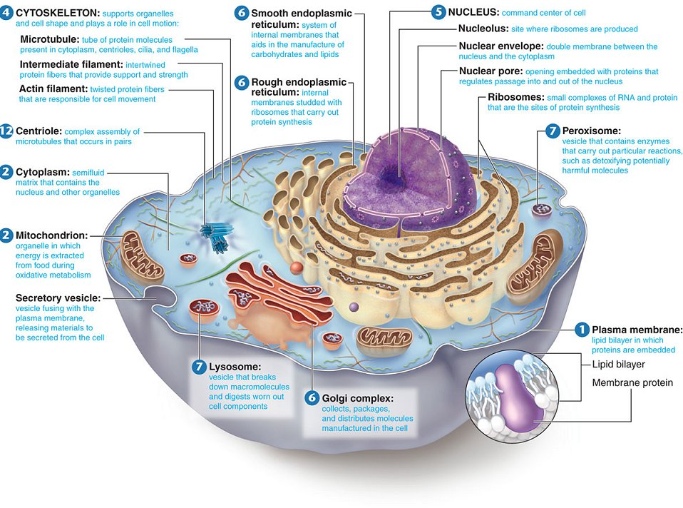 insotnami: animal cells diagram