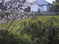 栗と桜が同時に咲いてる~