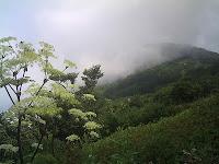 伊吹山とシシウドの花