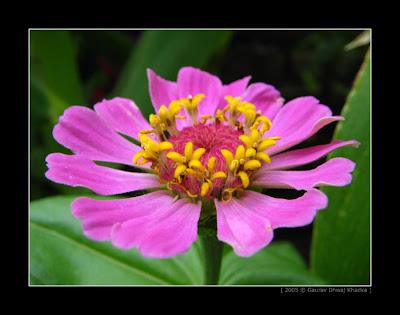 http://bp1.blogger.com/___J7dCvrkfY/RZUyzRWJ_aI/AAAAAAAAAC0/nZk9atigFUk/s400/gaurav.dhwaj.khadka.flower.nepal+(8).jpg