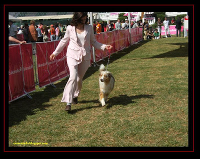 australian shepherd in Lisbon dog show