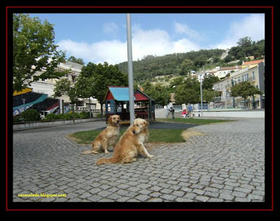 golden retriever em monchique