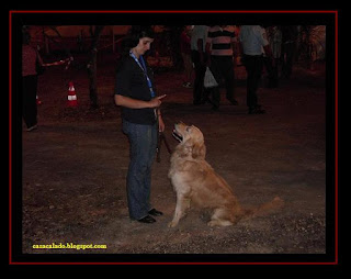 Golden Retriever and Australian Shepherd in Sweet Fair at Lagos