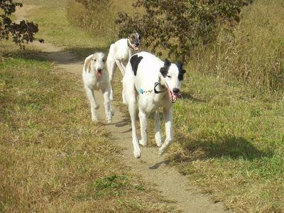 hounds ass Coursing
