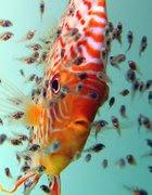 Discos joaquin cria del pez disco for Cria de peces en cautiverio