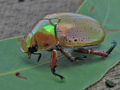 external image christmas_beetle.jpg