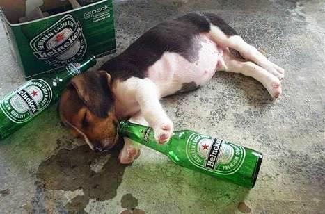 Anjing Mabuk Arak Di Malaysia