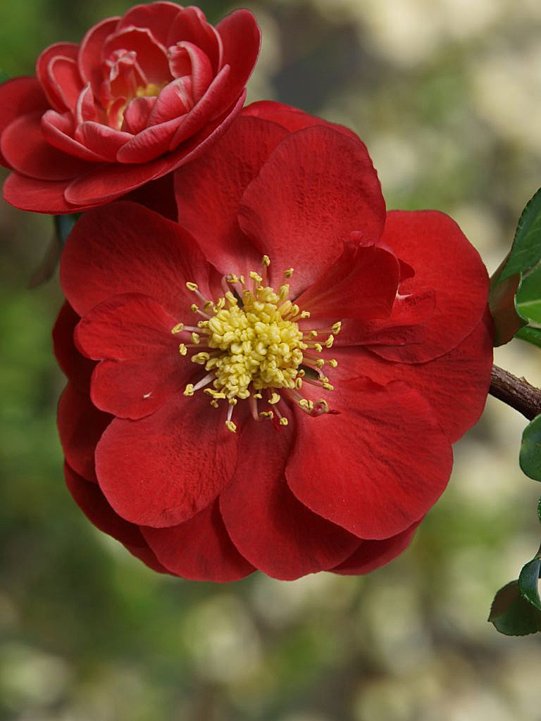 Camellia Japonica Roger Hall do you know your flowering quince?