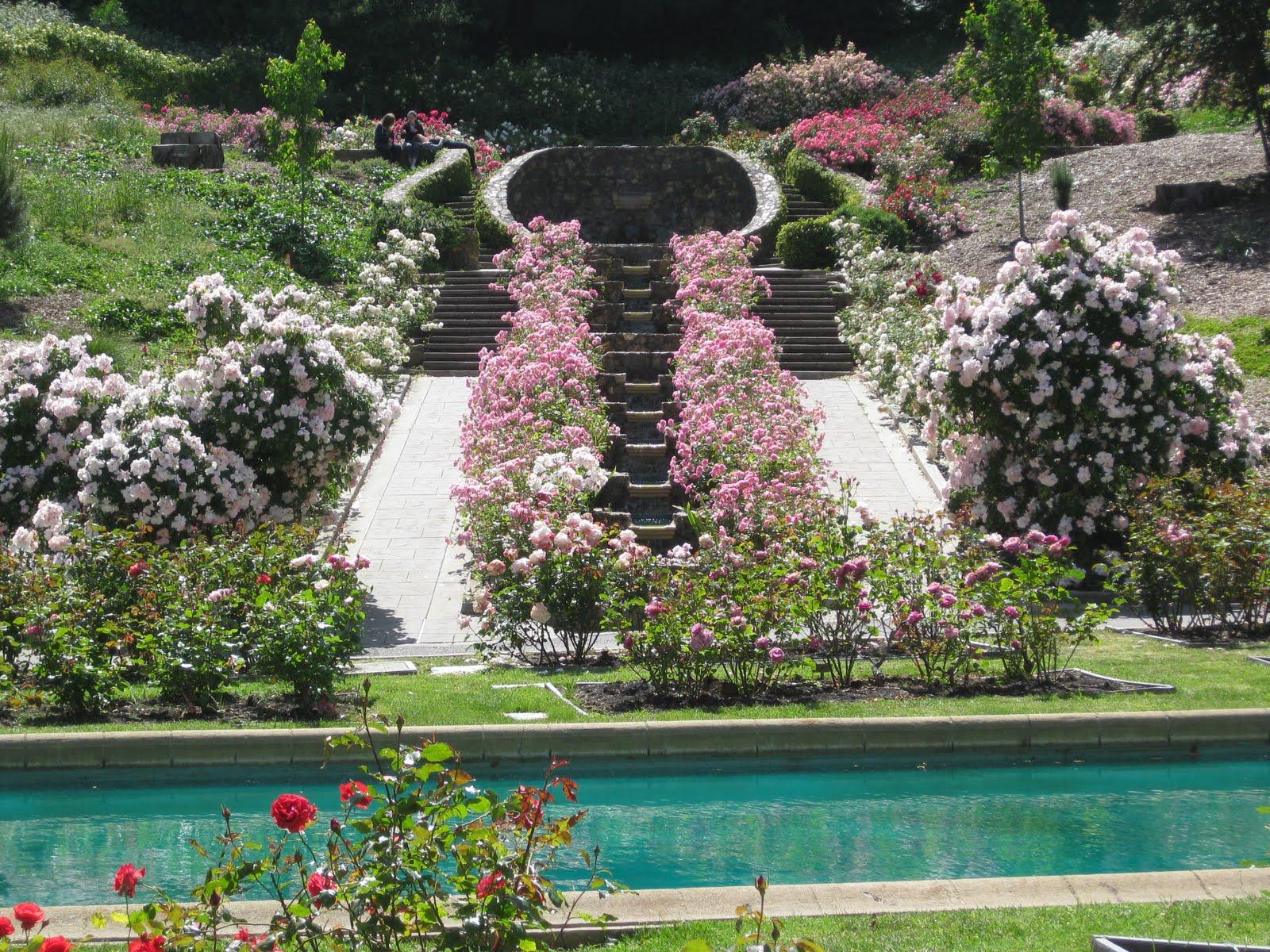 Roses In Garden: Around San Francisco: Morcom Rose Garden