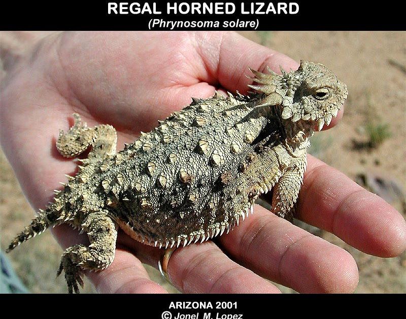 horned lizard squirting blood