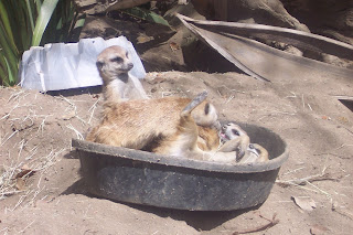 San Diego Zoo meerkats in bowl
