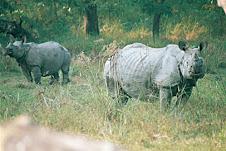One Horn Rhinos - Chitwan