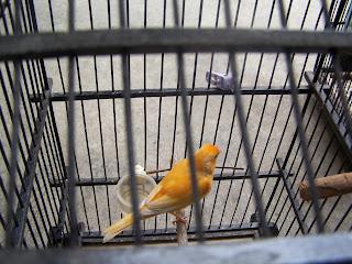 Jual burung Kenari Lokal / Lokal Super Murah Meriah....