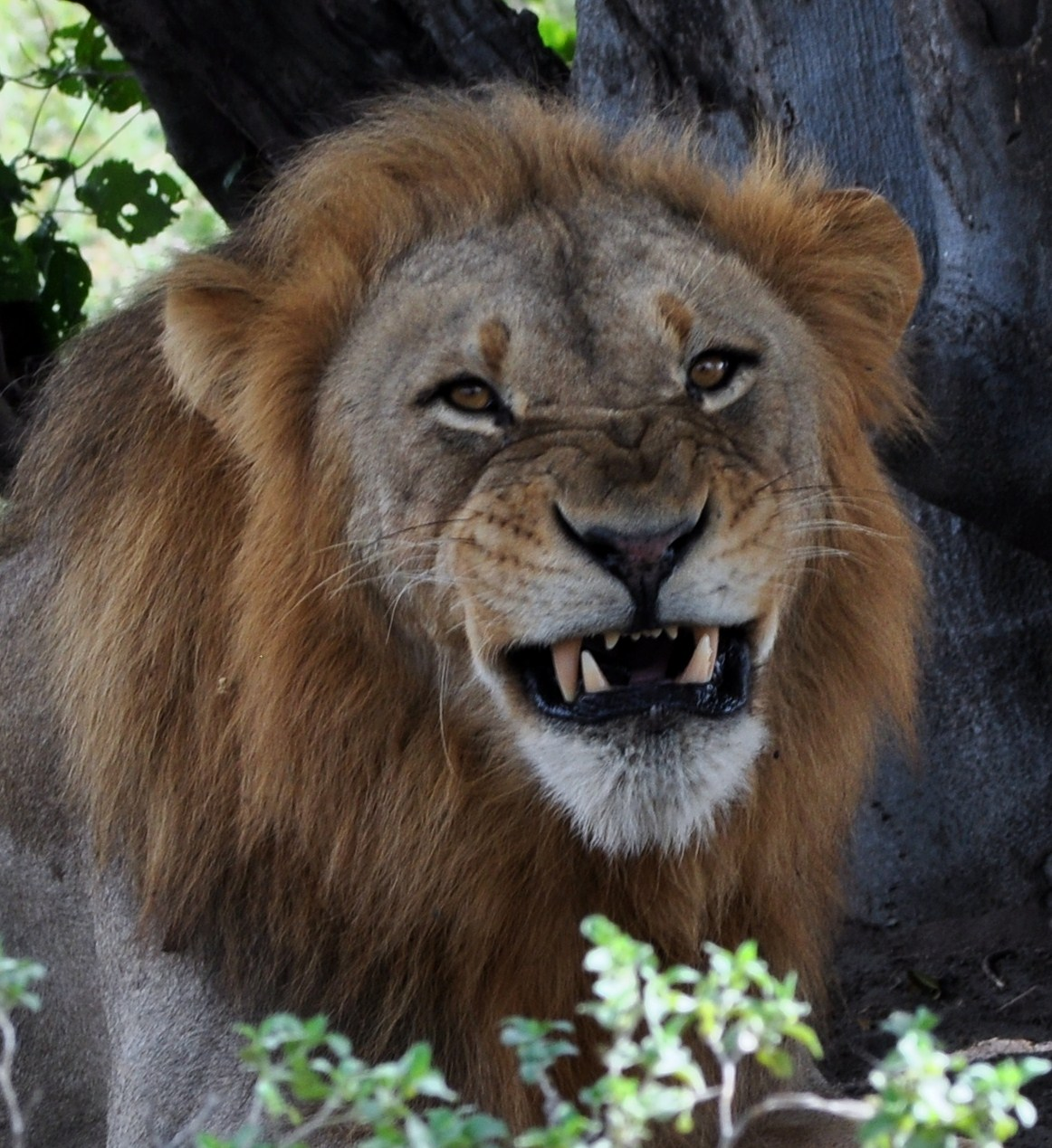 Hugh and Kathy: Ever had a lion smile at you?