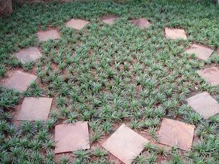 kucay mini sebagai pengganti rumput gajah mini