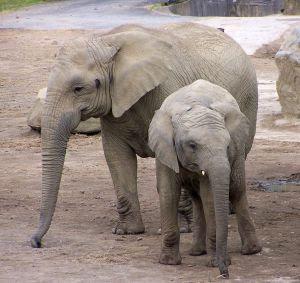 latijnse naam olifant