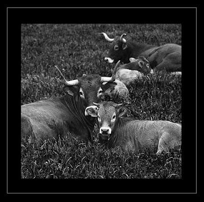 Vaquitas tudanca , raza pura sangre