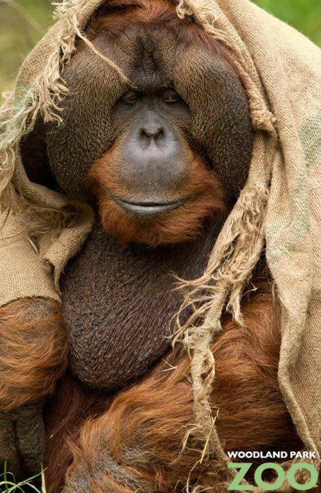 Herkimer Coffee donation brews orangutan, gorilla comforts