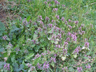 Nettles with purple flowers