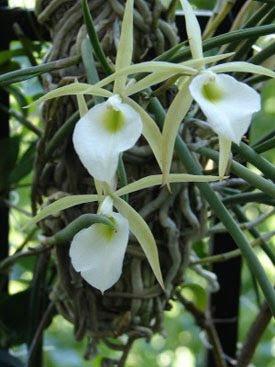 Orquideas variedades Plantar orquideas
