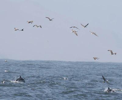 Peruvian Booby and Dusky Dolphin Pelagic Lima. Photo: Gunnar Engblom