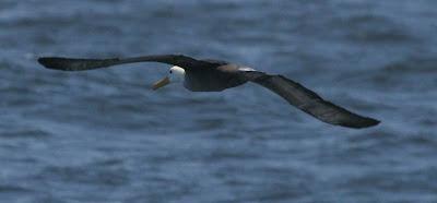 Waved Albatross Pelagic Lima. Photo: Gunnar Engblom