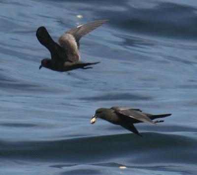 Black Storm Petrel, Pelagic Lima. Photo: Gunnar Engblom