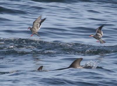 Dusky Dolphin Pelagic Lima. Photo: Gunnar Engblom