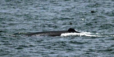 Possible Sei Whale Pelagic Lima. Photo: Gunnar Engblom