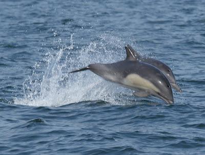 Common Dolphin Pelagic Lima. Photo: Gunnar Engblom